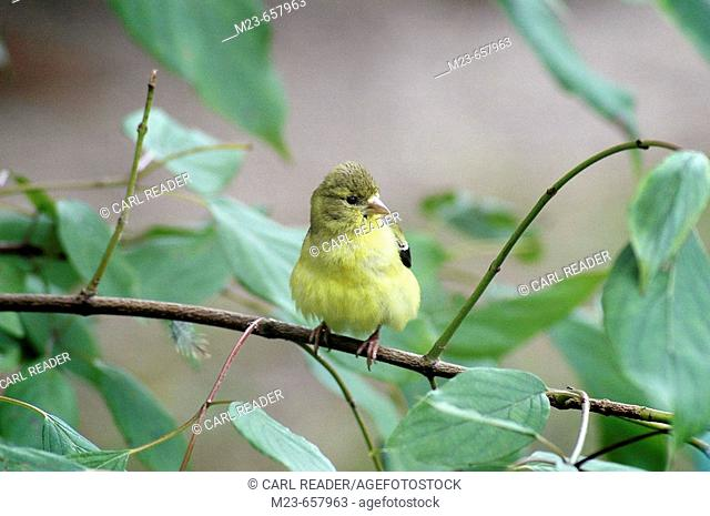 A female American goldfinch, carduelis tristis, ruffles its feathers while on a branch, Pennsylvania, USA
