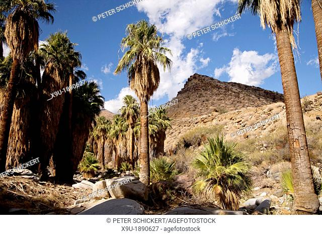 California Fan palm trees at Palm Canyon, Palm Springs, California, United States of America, USA