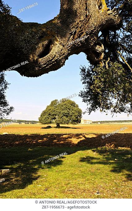 Centennial Oak (Quercus ilex). Almansa. Albacete. Spain