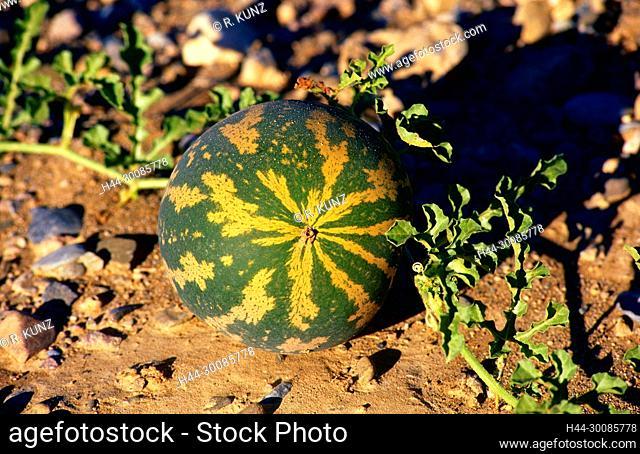 Namib Tsamme, Cittrulus ecirrhosus, Cucurbitaceae, Tsamma, fruit, plant, desert, Namibia