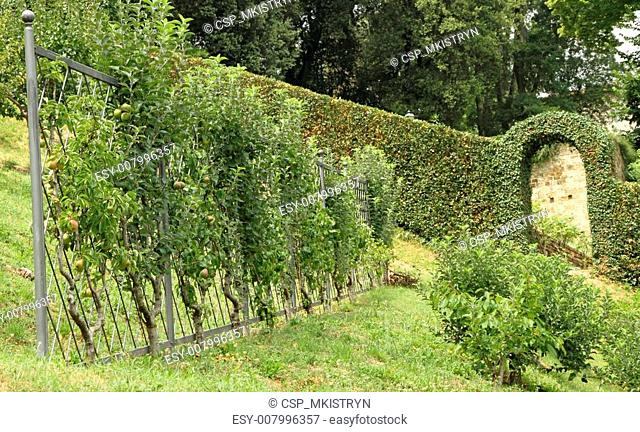 shaped pear trees on trellis in italian orchard