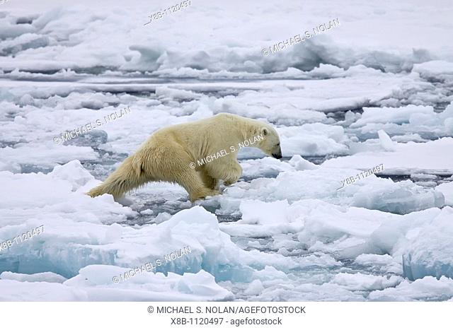 An adult polar bear Ursus maritimus on multi-year ice floes in the Barents Sea off the eastern coast of Edge¯ya Edge Island in the Svalbard Archipelago