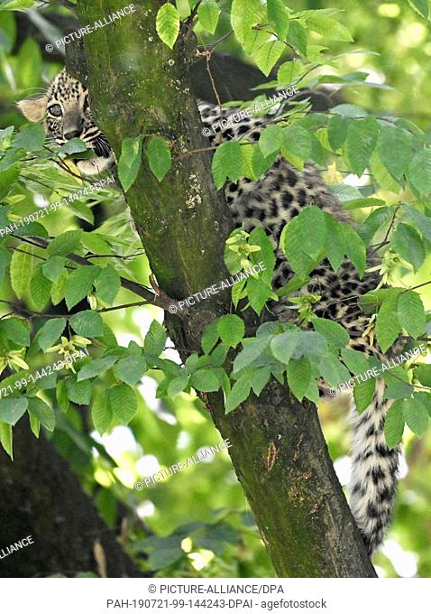 18 July 2019, North Rhine-Westphalia, Cologne: A young leopard sits in a tree in a zoo enclosure. On April 3rd the two kittens Nikan and Banu were born