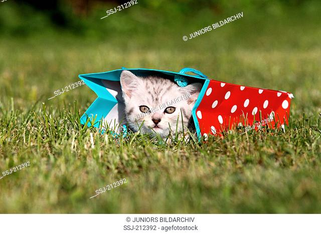 British Shorthair. Tabby kitten (8 weeks old) looking out from a carrier bag lying on a lawn. Germany