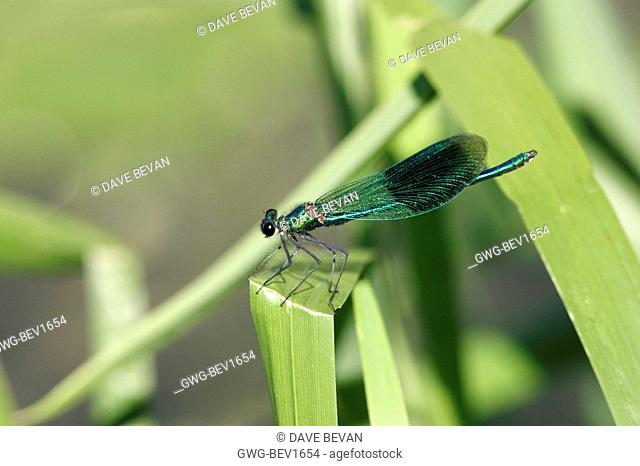 BANDED DEMOISELLE MALE INSECT
