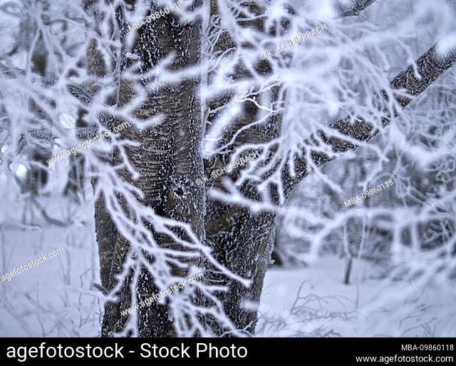 Europe, Germany, Bavaria, UNESCO Rhön Biosphere Reserve, Bavarian Rhön Nature Park, Black Moor nature reserve, Carpathian birches in fog and hoarfrost