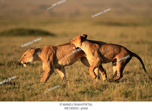Lions Playing, Masai Mara National reserve, Kenya