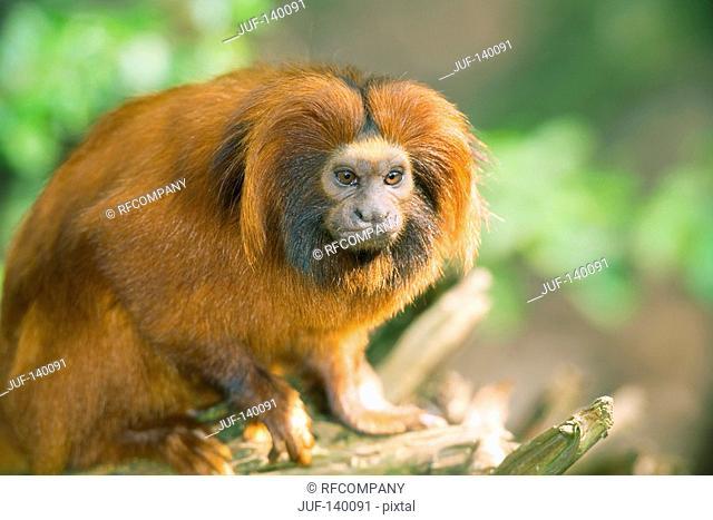 Golden Lion Tamarin - sitting / Leontopithecus rosalia rosalia