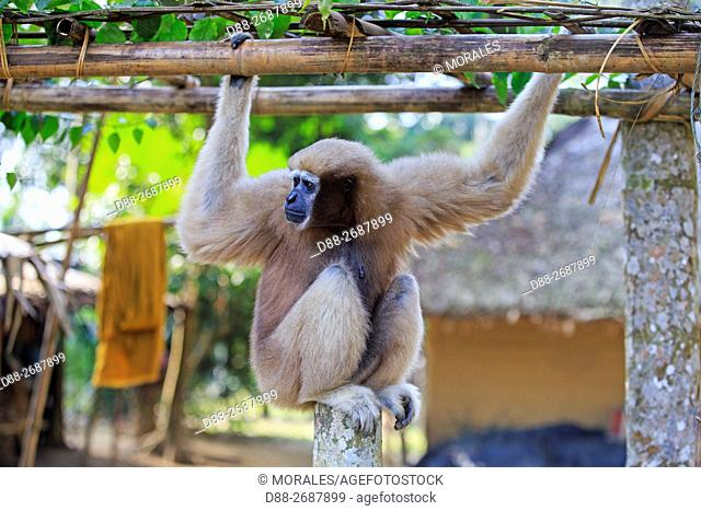 South east Asia, India,Tripura state,Gumti wildlife sanctuary,Western hoolock gibbon (Hoolock hoolock),adult female tamed in a village