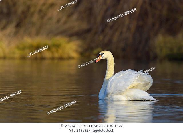 Mute Swan (Cygnus olor) on lake, Hesse, Germany, Europe