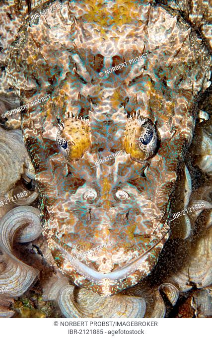 Crocodilefish (Cymbacephalus beauforti), portrait, coral reef, Great Barrier Reef, UNESCO World Heritage Site, Cairns, Queensland, Australia, Pacific