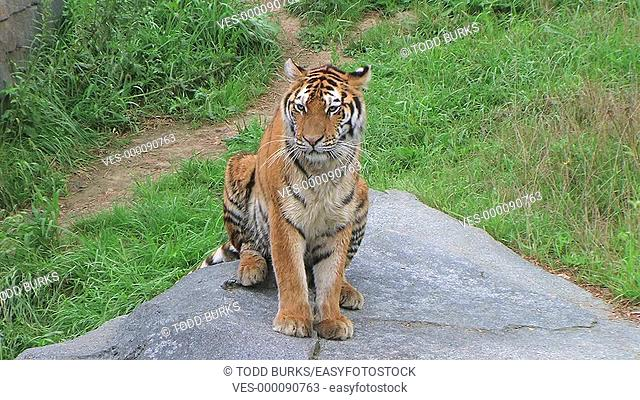 Tiger licking paws and stretching