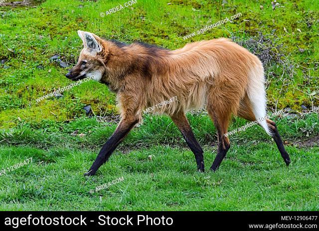 Maned Wolf (Chrysocyon brachyurus). Largest canid found in South America