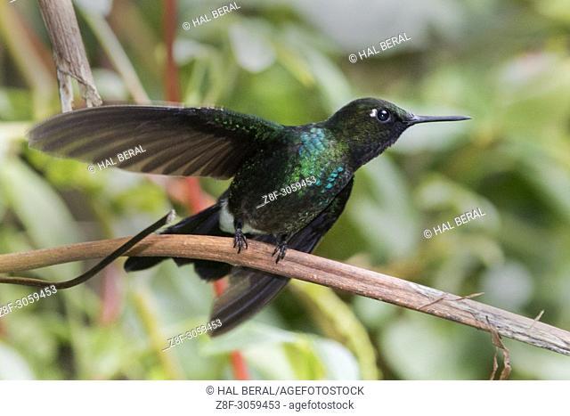 Tourmalilne Sunangel Hummingbird male (Heliangelus exortis). Ecuador