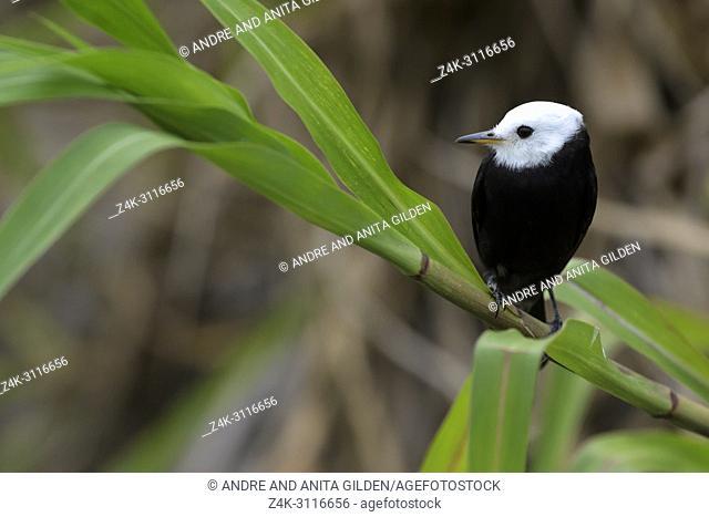 White-headed Marsh-Tyrant (Arundinicola leucocephala) perched on branch, Pantanal, Mato Grosso, Brazil