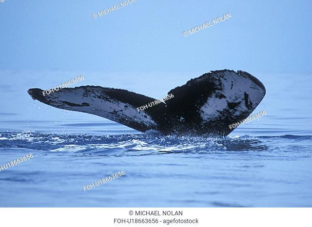 Humpback Whale Megaptera novaeangliae Adult fluke-up dive in the AuAu Channel, Maui, Hawaii, USA. Pacific Ocean
