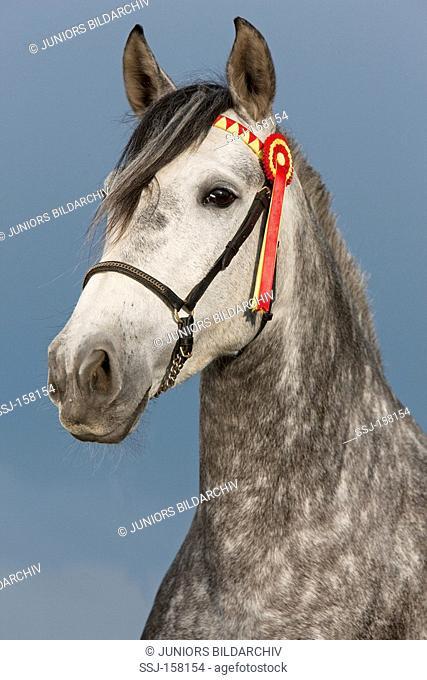 Pure Spanish-bred horse - portrait