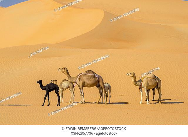 Liwa Oasis, Abu Dhabi , United Arab Emirates - -Mother and child Camels (Camelus dromedarius) crossing sand dunes in the desert The Empty Quarter (Rub' al...