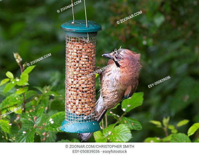 Jay (Garrulus glandarius) very wet with the rain at the feeder