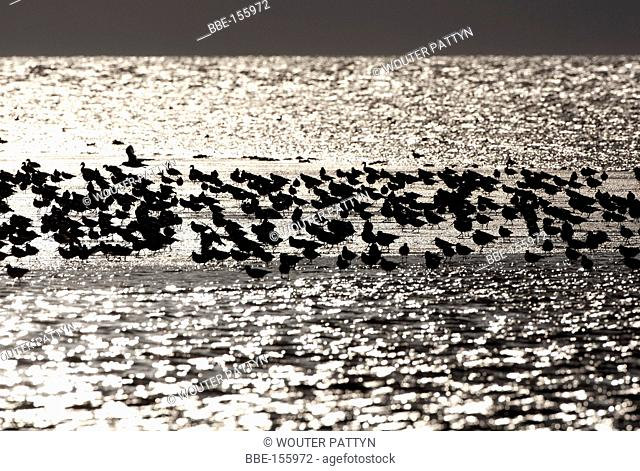 Oystercatchers in the Wadden Sea, The Netherlands