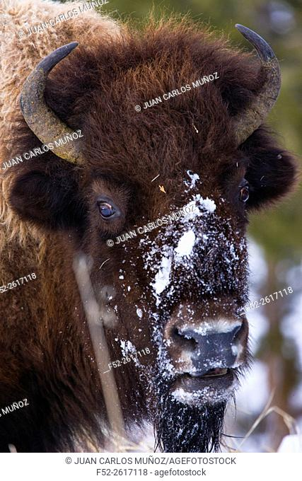 American bison (Bison bison), Yellowstone National Park, USA
