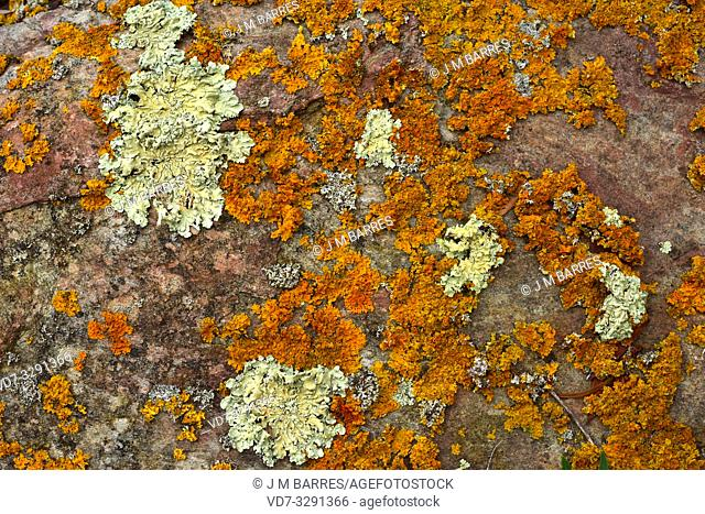 Xanthoria calcicola (orange) and Parmelia caperata or Flavoparmelia caperata (green-yellow) are two foliose lichens. This photo was taken in La Albera