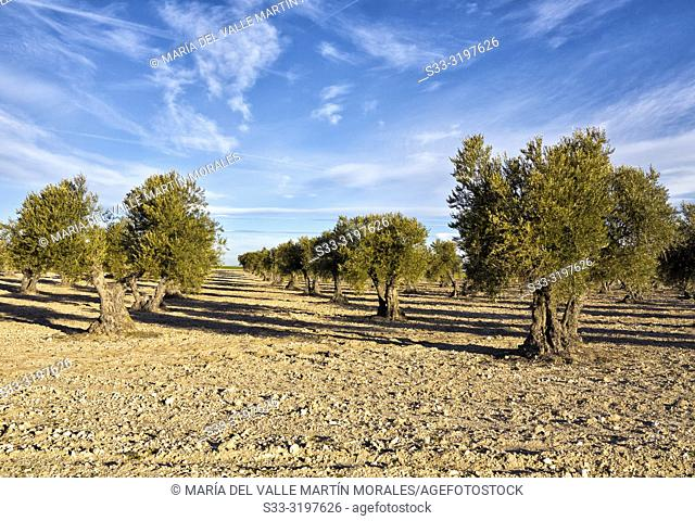 Olive trees on a sunny day. Pinto. Madrid. Spain