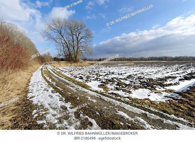 Tree in a winter landscape near Perach, Upper Bavaria, Germany, Europe