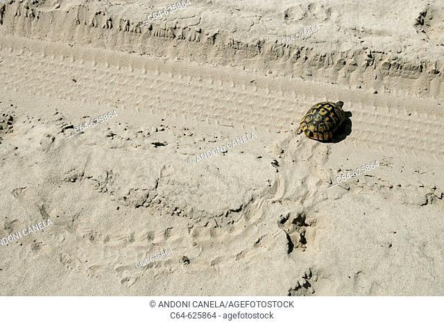 Spur-thighed tortoise (Testudo graeca). Dunes. Doñana National Park. Spain