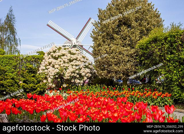 Tulips in front of a windmill at the Roozengaarde Display Garden in the Skagit Valley near Mount Vernon, Washington State, USA