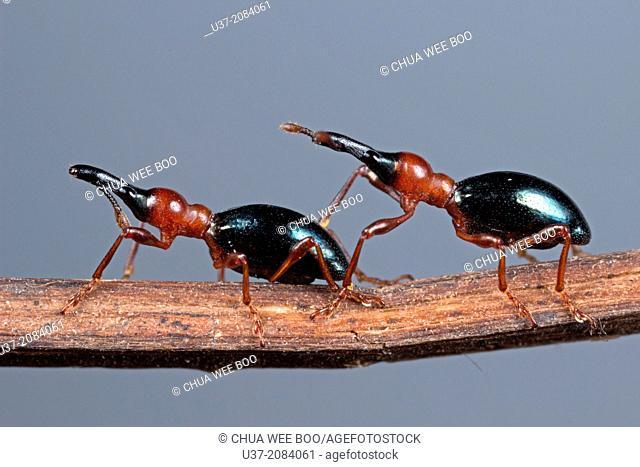 Weevil. Image taken at Kampung Skudup, Sarawak, Malaysia