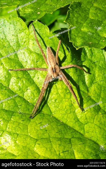 Pisaurina mira (Nursery web spider) a common garden and meadow insect stock photo