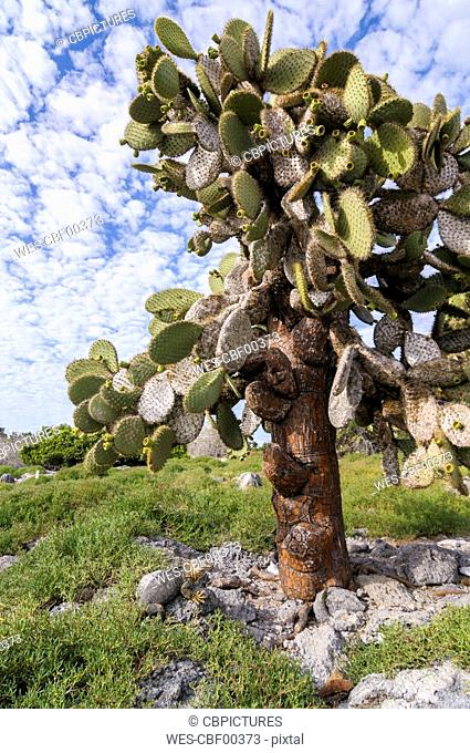 Ecuador, Galapagos, Galapagos Land Iguana, Conolophus subcristatus, lies below a Galapagos prickly pear, Opuntia echios