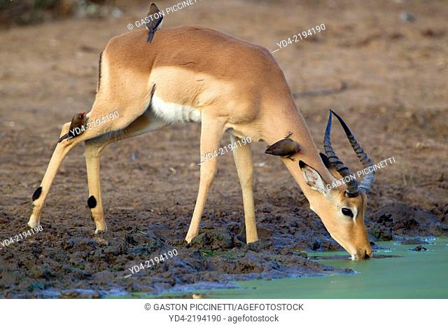 Impala (Aepiceros melampus), in the waterhole, Kruger National Park, South Africa