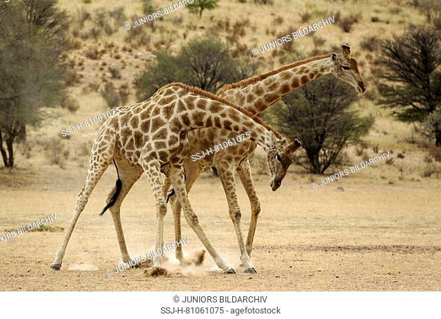 Southern Giraffe (Giraffa giraffa). Males fighting in the dry Auob riverbed in the early morning. Kalahari Desert, Kgalagadi Transfrontier Park, South Africa