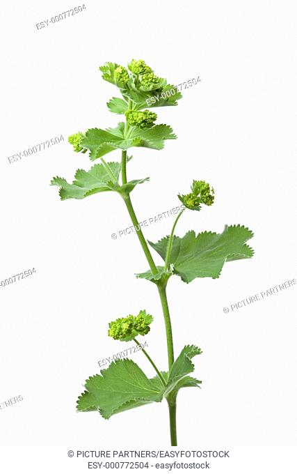 Alchemilla mollis on white background