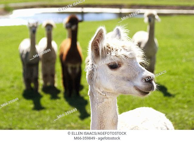 Smiling alpaca (lama pacos) posing as if it were the leader of the pack. Krystal Acres Alpaca Farm on San Juan Island, Washington, USA