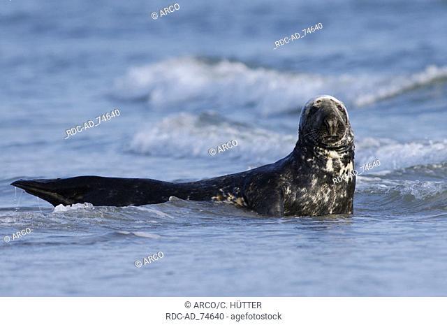Grey Seal Helgoland Schleswig-Holstein Germany Halichoerus grypus