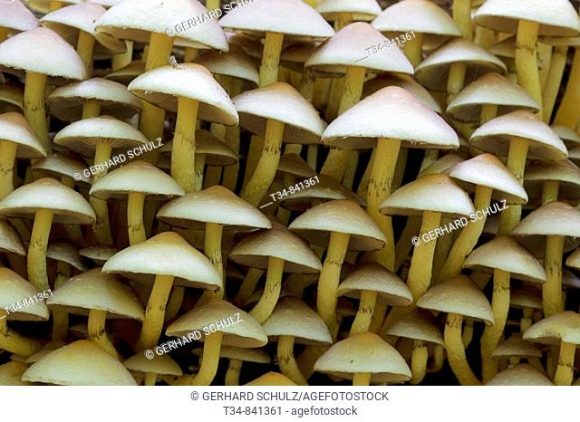 Conifer Tuft (Hypholoma capnoides), Schleswig-Holstein, Germany
