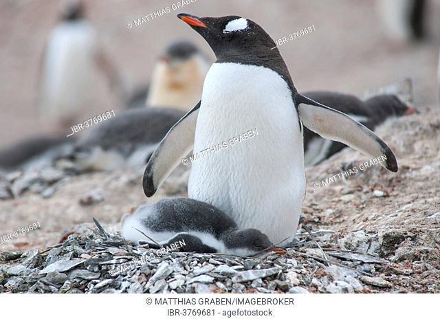 Gentoo Penguin (Pygoscelis papua) and chick at the nest, Hannah Point, Livingston Island, South Shetland Islands, Antarctica