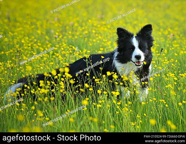 23 May 2021, Brandenburg, Mallnow: A border collie is in a meadow full of yellow blooming ranunculus flowers. Photo: Patrick Pleul/dpa-Zentralbild/ZB