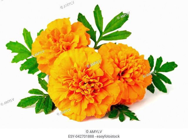 fresh marigold flowers isolated on the white background