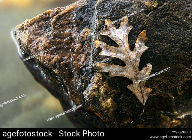 Fallen oak leaf isolated on rock by river - Pisgah National Forest, near Brevard, North Carolina, USA