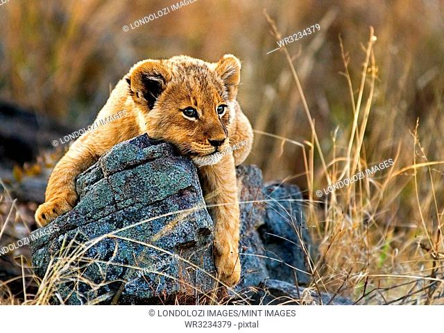 A lion cub, Panthera leo, lies on a boulder, draping its front legs over the rock, looking away, yellow golden coat
