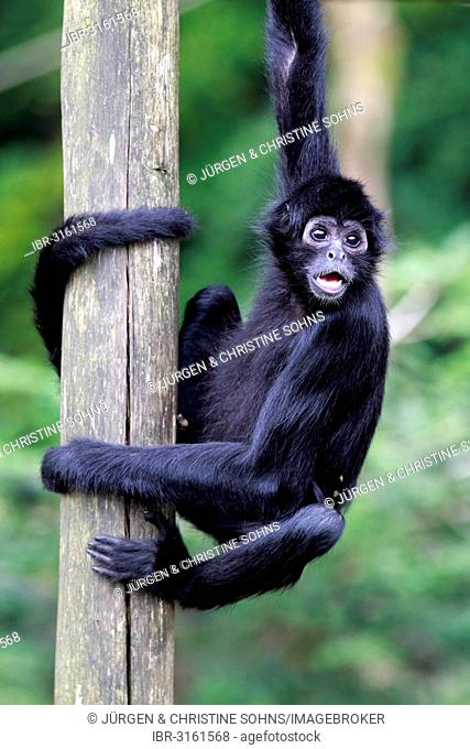 Black-headed Spider Monkey (Ateles fusciceps robustus), calling, captive, Apeldoorn, Gelderland, The Netherlands