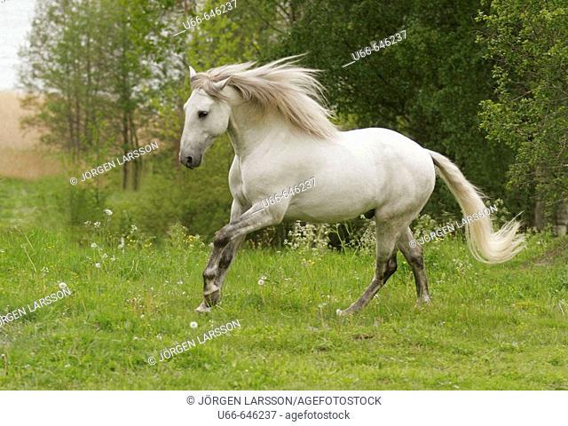 Lusitano horse running. Sweden