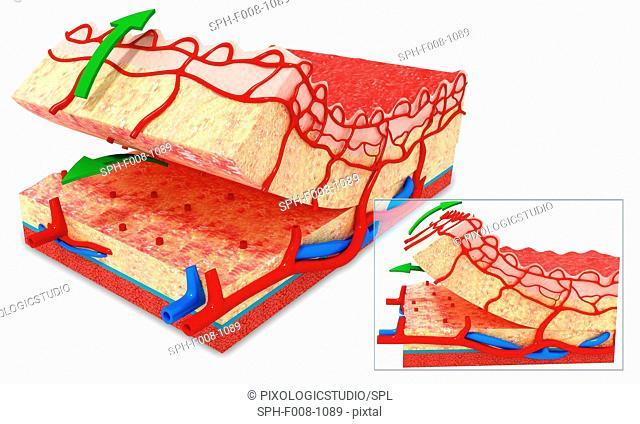 Human skin anatomy, computer artwork