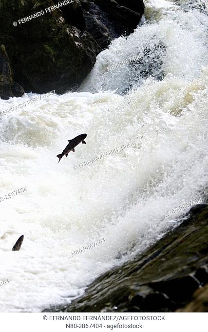 Salmon climbing. Falls of Feugh. River Feugh. Banchory. Aberdeenshire. Scotland. Europe