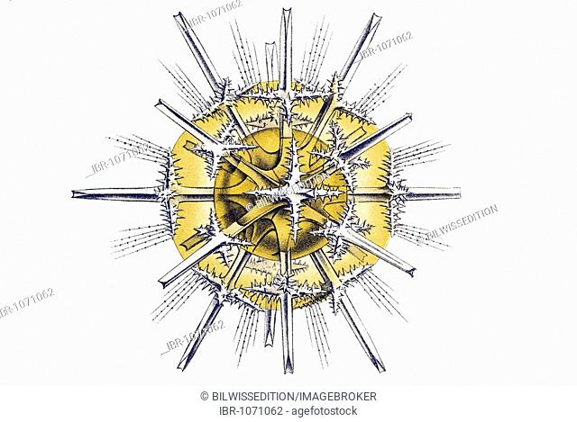 Historic illustration, tablet 21, title Acanthometra, marine protozoa, name Xiphacantha, 2/ Xiphacantha spinulosa, Stauracanthitidae, view of pole equator spine