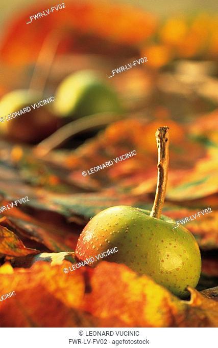 Malus sieboldii, Crab apple